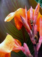 .stock: orange canna lily. by guavon-stock