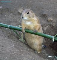 Prairie Dog by Xiuhcoalt