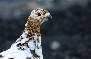 Ptarmigan color shift by JWFisher