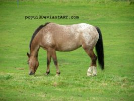 Appaloosa horse grazing_stock by popui