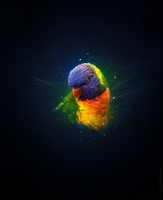 Lorikeet by mushir