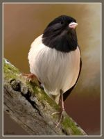 Dark Eyed Junco by Bumblewales