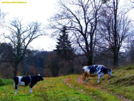 COWS AND WILD NATURE by magicandbrother