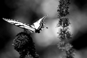Butterfly Effect 02 B and W by RepeatingYesterday