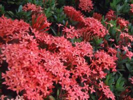 red flowers i by crackpotstock