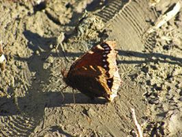 Butterfly 0135 by VioletRosePetals