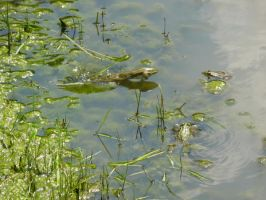Three frogs by Severius