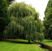 weeping willow 3 by awjay