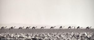 camel train by grevys