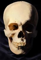 Skull study - Front view by Marina13m