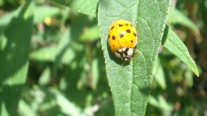 Lucky Lady Bugs by Laur720