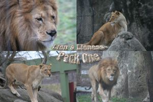 Lion and Lioness Pack - 1 by Seductive-Stock