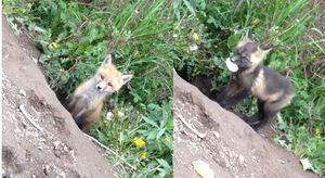 Cute 6 week old Foxes by DarkMythicPsychicCat