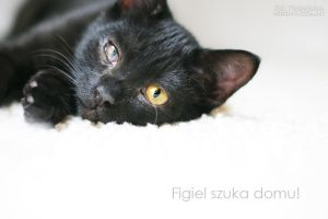 Figiel, black cat by ankaszklanka