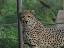 Cheetah 05 by animalphotos