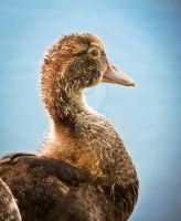 Young Muscovy Duck by TKdesign10