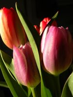 tulips by pumpkinflavoredpaint