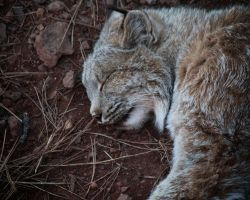 Canadian Lynx by Voldrune