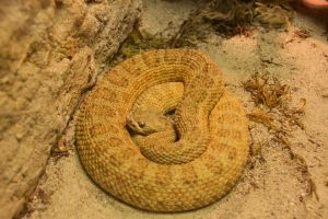 Great Basin Rattlsnake by Caloxort
