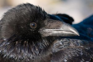 The eye of the raven by KennethSolfjeld