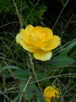 Yellow Rose by 490skip