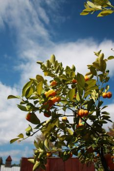 Oranges on a Beautiful Day by Viria26