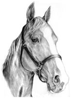 horse portrait by Adniv