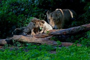 Sweet lions by Seb-Photos