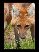 Maned Wolf by acojon