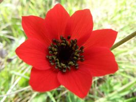 Red Flower by Paul774