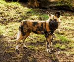 African Wild Dog by Shadow-and-Flame-86