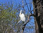Great Egret III by netta43