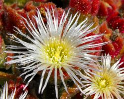 Large Crystal Ice-Plant flower by floramelitensis