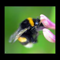 Busy Bee by kilted1ecosse