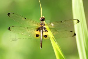Rhyothemis phyllis by dianapple
