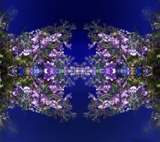 Jacaranda copy by bugtussle
