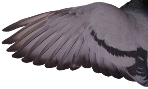 Pigeon Wing 01 by Treeclimber-Stock