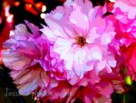 Pink Flowers by jessieo-photography