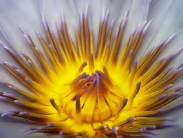 Heart of The Lily by andras120