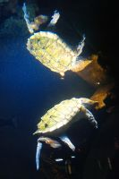 Alligator Snapping-turtle by Sakonige