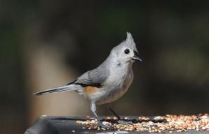 Titmouse 4-11-12 by Tailgun2009