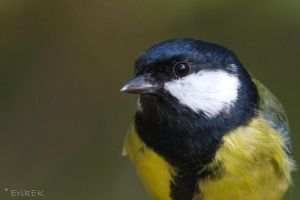 Great Tit profile picture by ErikEK