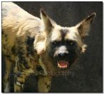 Painted Dogs I by LoneWolfPhotography