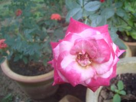 full bloom pink by plainordinary1