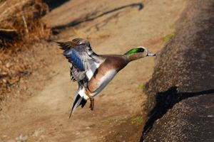 American widgeon drake in flight by Glacierman54