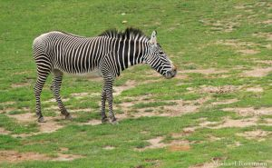 zebra by Photomichael