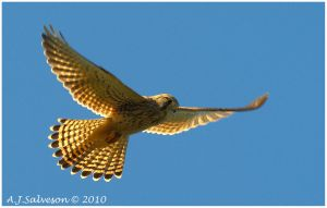Hunting Kestrel by andy-j-s