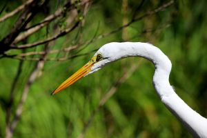 White Egret by winterface