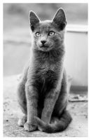 Gray Kitty in BW 2 by ivanlee