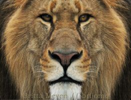 Lion by brijome